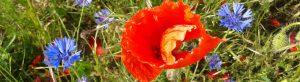 Headerbild Klatschmohn und Kornblumen 1100x300px