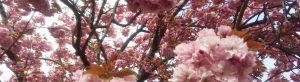 Headerbild Mandelblüte 1100x300 px
