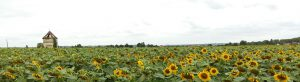 Headerbild Sonneblumenfeld 1100x300 px